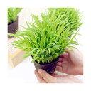 (観葉植物)スーダングラス 猫草 ネコちゃんの草 直径8cmECOポット植え(無農薬)(5ポットセット)