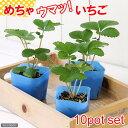 (観葉)デルモンテ 野菜苗 イチゴ めちゃウマッ!いちご(四季成り) 3号(お買い得10ポットセット) 家庭菜園