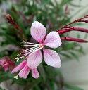 ガウラ(白蝶草) チェリーブランデー(薄いピンク)3.5号苗...