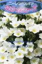 ニーレンベルギア ホワイトローブ(白花)3.5号苗(b11)...