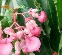 キダチベゴニア ピンク 5号鉢