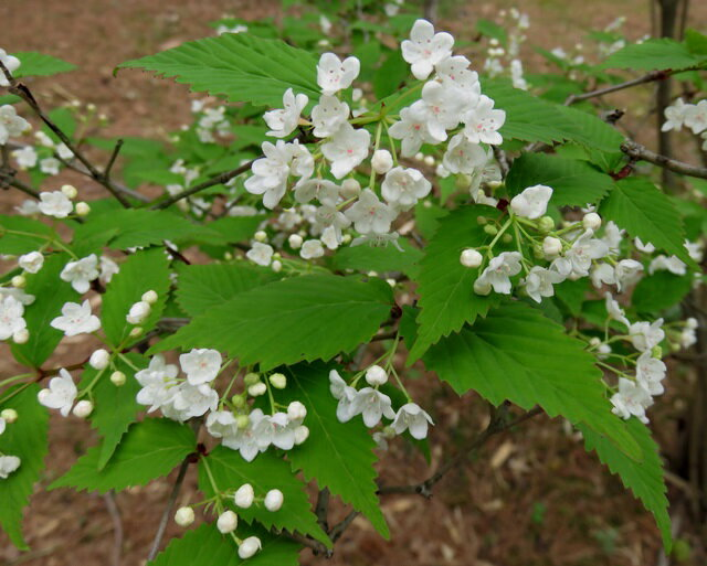 r【現品】オトコヨウゾメ 2m 10914 赤く熟した実と春に咲く白い花が美しい