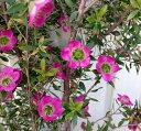レプトスペルマム(ティーツリー) パープルジー(ピンク花) 6号苗(c7)