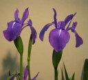 三寸アヤメ紫 3.5号苗(e11d)