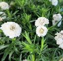 八重咲きアキレア(ノコギリソウ)ゆきてまり 3.5号苗