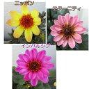 【選べる3種】プチダリア苗 ハミングブロンズシリーズ 3.5号苗(h2)