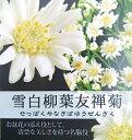 雪白柳葉友禅菊(セッパクヤナギバユウゼンギク)ポット苗(c1...