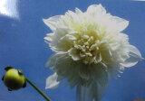 八重咲き皇帝ダリア 白花「早期予約」