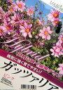 【新品種】皇帝ダリア ハイブリッド ガッツァリア 「ピンク(一重ピンク花)」4号ポット苗