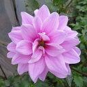【新品種】皇帝ダリア ハイブリッド ガッツァリア 「ダブルピンク(八重ピンク花)」4号ポット苗(h3)