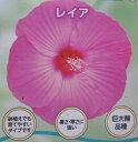 タイタンビカス レイア(ピンク花系) 3.5号苗(J3)