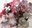 ヒューケラ(ツボサンゴ) 赤葉 3.5号苗