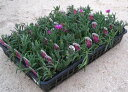 耐寒性 松葉菊(マツバギク) 40個