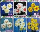 水仙(スイセン)八重咲き ポット苗