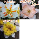 《エントリーでポイント5倍》【選べる3種】水仙(スイセン) バタフライ咲き
