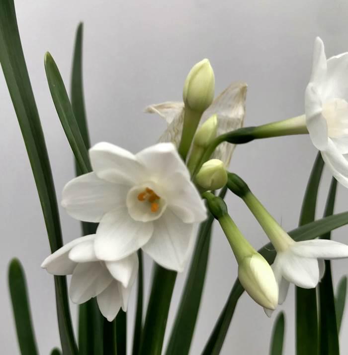 原種水仙(スイセン苗)ペーパーホワイト 3.5号苗(d15)
