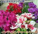 アルストロメリア 6号苗 インティカンチャーシリーズ【花色別...