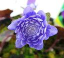 ユキワリソウ(オオミスミソウ) 「紫白芯千重咲」 ポット苗 205