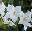 ツルハナナス(ヤマホロシ) 3号苗 ホワイト 「2個セット」