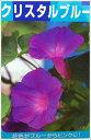 宿根朝顔(宿根アサガオ)。色がブルーからピンクへ。グリーンカーテンにオススメ琉球あさがお(アサガオ)  クリスタルブルー 苗