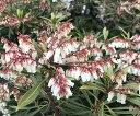 琉球リュウキュウアセビ 7号 植木 庭木(J1)...
