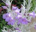 ホワイトツリー エレモフィラ ニベア 3.5号苗