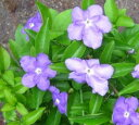 Smell Brunfelsia Hopeana 6