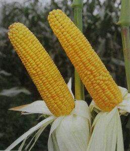 飼料用トウモロコシ・ロイヤルデントTH0581kg
