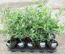 選べるオリーブの木 3.5号苗 《シンボルツリーに最適なオリーブの苗木、庭木や鉢植えとして人気》 r(g4)