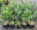 選べるオリーブの木 3.5号苗 《シンボルツリーに最適なオリーブの苗木、庭木や鉢植えとして人気》 r(c20)