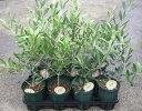 選べるオリーブの木 4号苗(d9) 《シンボルツリーに最適なオリーブの苗木、庭木や鉢植えとして人気》