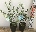 【2品種セット】オリーブの木 3.5号〜4号苗 (d9)《シンボルツリーに最適なオリーブの苗木、庭木や鉢植えとして人気》