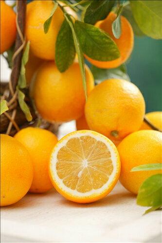 甘いレモン苗 スイートレモネード(h31)