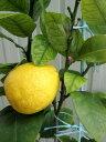 レモンの木 苗木 6号ロングポット (d1)