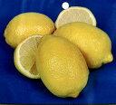 レモンの木(檸檬) 苗木 4.5号(d3)