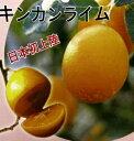 四季成りキンカンライム 5号苗(f4)