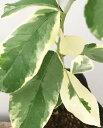 斑入りレモン苗 ピンクレモネード(檸檬)果樹 4号苗(d4)