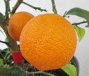 【実付き】赤実レモン オタハイト 6号苗木(h23)