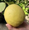 ジャンボレモンの木 6号苗(d6)