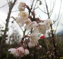 サクランボ 暖地 5号鉢植え苗(d6)