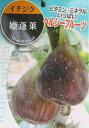 イチジク苗 姫蓬莱(ヒメホウライ) 4号(J1)