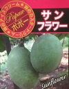 【現品】ポポー(ポーポー) 「サンフラワー」10号鉢植え 2本立ち 101681 接木 果樹 落葉樹 (f1)