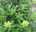 ヒメヒイラギ(小葉ヒイラギ)4.5号苗