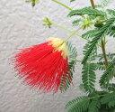 《エントリーでポイント5倍》ネムノキ 赤花 3号苗(h23)