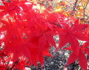 【現品3種】モミジ「大盃(オオサカズキ)」苗木1.3m〜1.4m R