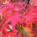 【現品】イロハモミジ 本株立ち1.9m 011051紅葉のきれいなヤマモミジ(山紅葉) r
