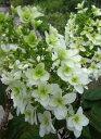 カシワバアジサイ(紫陽花・あじさい) 八重咲き(スノーフレーク)6号(d11)