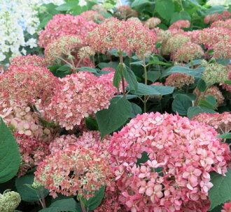 Chigusa rakuten global market pink hydrangea annabelle 5 potted plants - Care potted hydrangea ...
