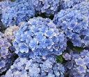【17年入荷株】アジサイ(紫陽花・あじさい) てまりてまりブルー (テマリテマリ) 3.5号苗