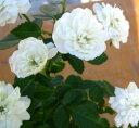 【花終わり】ミニバラ グリーンアイズ
